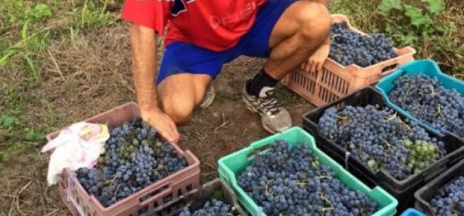 Радуканов се похвали с обилна реколта (СНИМКИ)