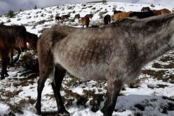 Десетки коне умират от глад и студ в Осоговската планина (ВИДЕО)