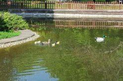 Излюпиха се първите бебета в Патешкото езеро