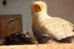 Египетски лешояди зарадваха Зоологическата градина