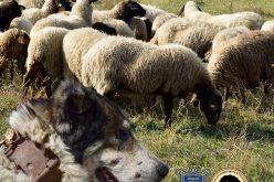 В Елин Пелин организират изложба на каракачанското куче